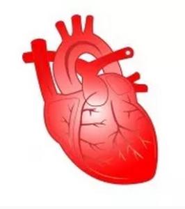 Ein gesundes und gut mit Sauerstoff versorgtes Herz