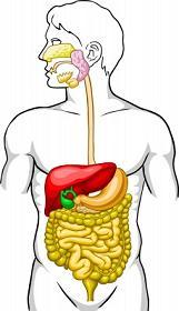 Das menschliche Verdauungssystem